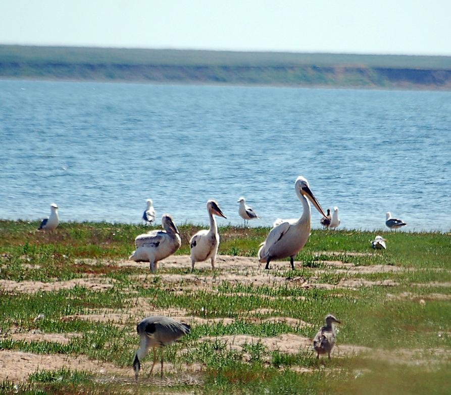 http://rgpbz.ru/assets/images/resources/21/pelikan-s-ptenczami.jpg